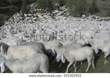Livestock farm, Herd of sheep. - stock photo