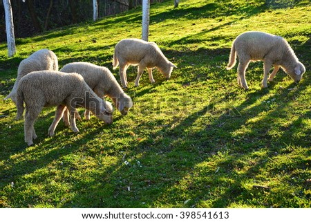 Livestock farm, herd of sheep  - stock photo