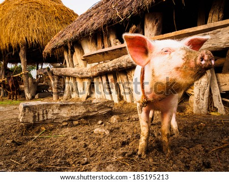 Livestock including pigs, buffalo and goats abound in the village of Thakurdwara, Nepal - stock photo