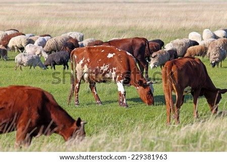 Livestock on a pasture in the steppe - stock photo