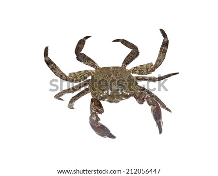 Living crab isolated on white background - stock photo