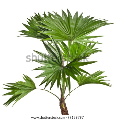 Livistona Rotundifolia palm tree isolated on white - stock photo
