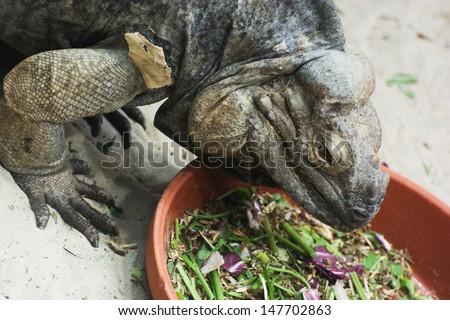 Lizard Ctenosaura melanosterna in terrarium. - stock photo