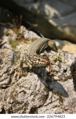 lizard in natural habitat - stock photo