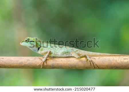 lizard in nature,iguana - stock photo