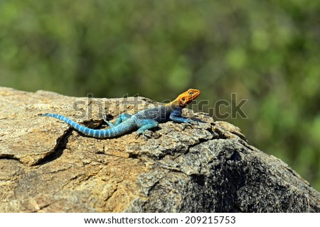 Lizard in the African savannah in their natural environments - stock photo