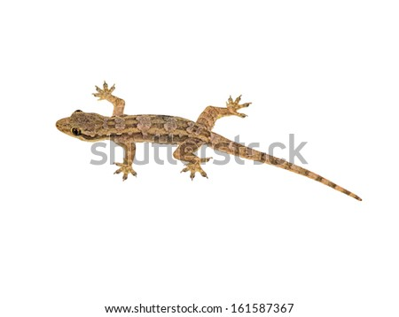 Lizard isolated on white background with clipping path - stock photo