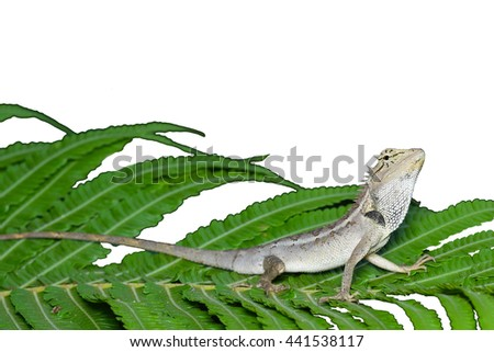 Lizard on a green leaf white background. - stock photo