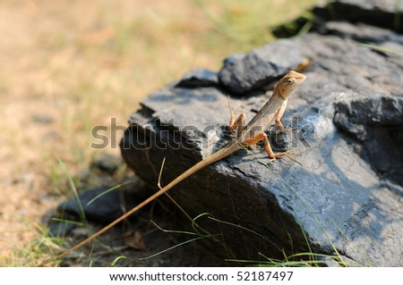 lizard on a rock - stock photo