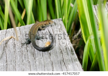 lizard on plank (still young, in moor) - stock photo