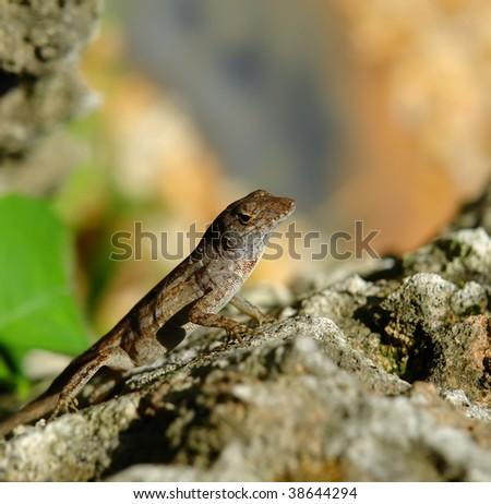 Lizard on stone, Fairchild tropical botanic garden, FL, USA - stock photo