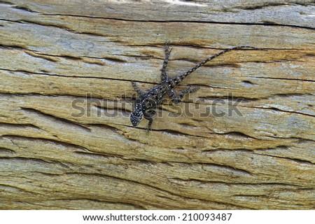 Lizard on the African savannah in their natural habitat - stock photo