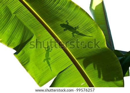 Lizard silhouette on green leaf - stock photo