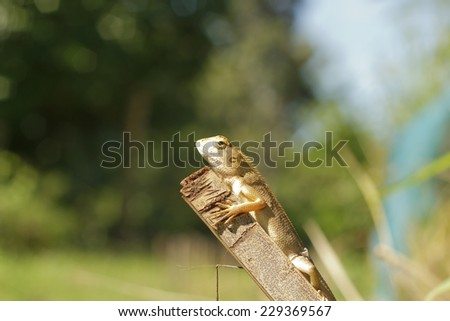 lizard sitting on old bamboo wood in the natural habitat. - stock photo