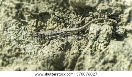 Lizard sunning on a rock with grey stones as background - stock photo