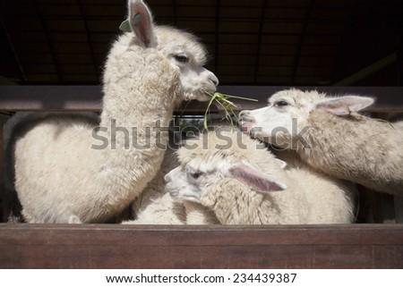 llama alpacas eating ruzi grass in mouth rural ranch farm  - stock photo