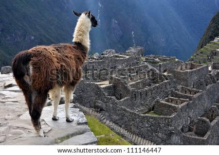 Llama at City of Machu Picchu, Peru - stock photo