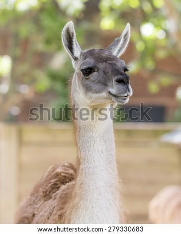 Llama head portrait. - stock photo