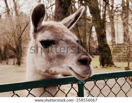 Llama (Lama glama, Lama guanicoe) head over the fence - stock photo