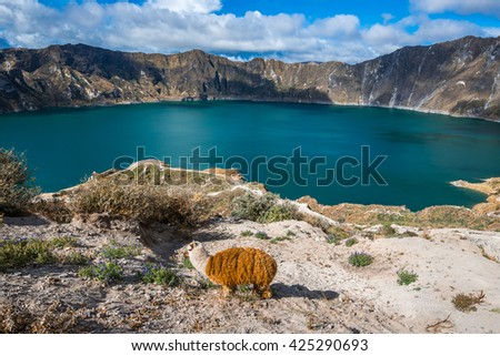 Llama near Quilotoa crater lake, Ecuador - stock photo