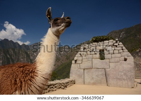 Llama on inca terraces, Machu Picchu, Cuzco, Peru - stock photo