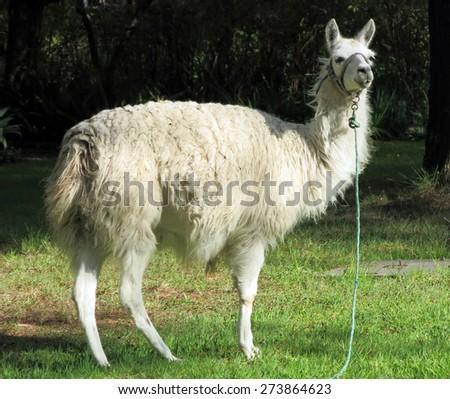 Llama. Picture taken in Ecuador - stock photo