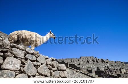 llama standing in Macchu picchu ruins on deep blue sky - stock photo
