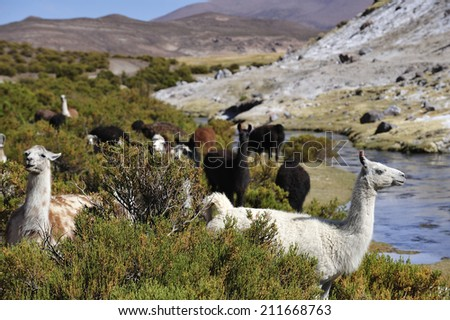 Llamas in Altiplano high plateau in Andes Mountains, Chile - stock photo