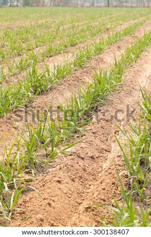 Local farmers grow sugar cane. Industrial plants for sugar cane farming practices entering the mill. - stock photo