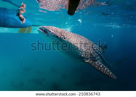 Local man feeding whale sharks (Rhincodon typus) from a boat to attract animals while tourists watching them. Oslob, Philippines - stock photo