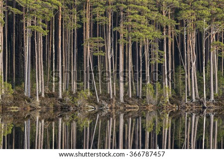 Loch Mallachie tall Pines. - stock photo