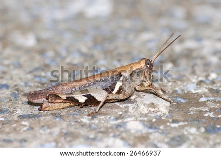 Locust with protective coloration - stock photo