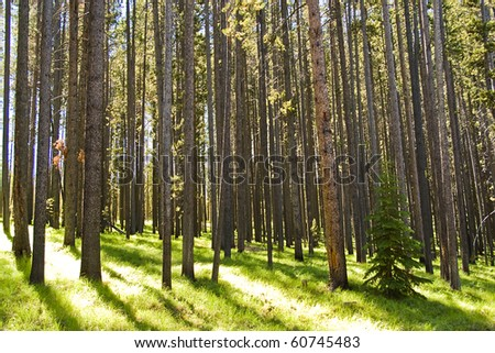 Lodgepole pine forest with a small fir tree. - stock photo
