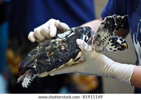 Loggerhead Sea Turtle at rehabilitation facility - stock photo