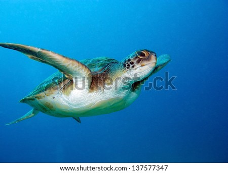 Loggerhead sea turtle, Caretta caretta, in Tenerife, Spain. - stock photo