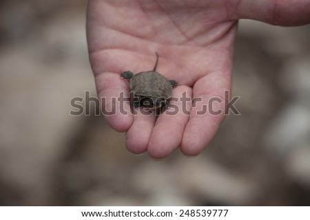 Loggerhead Turtle Hatchling on Palm of a human Hand - Caretta Caretta - Rescue after Flood Disaster in Olympos, Turkey,  Asia - stock photo
