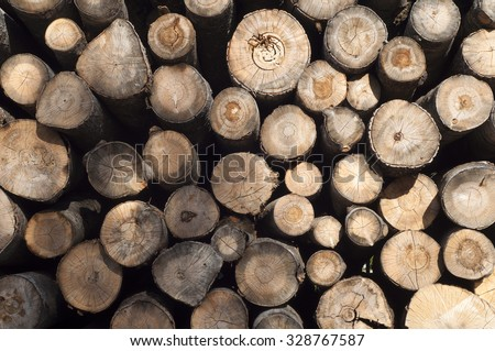 Logging. The ends of the birch trees felled. The background. - stock photo