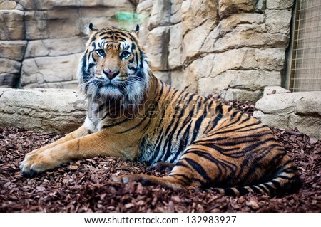 LONDON - MAR 20: ZSL London Zoo opens brand new Sumatran tiger enclosure in London on March 20, 2013 as part of the global breeding programme for the critically endangered species. - stock photo
