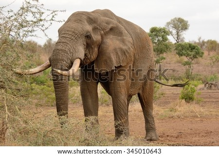 Lone African elephant bull with impressive tusks moving through a clearing in the bush  - stock photo