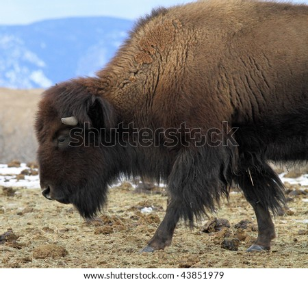 Lone American Buffalo on a hilltop in the Rocky Mountains in Colorado - stock photo