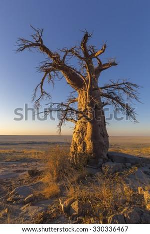 Lone Baobab Tree at Sunrise - stock photo