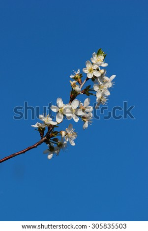 Lone blooming twig at spring on blue sky background - stock photo