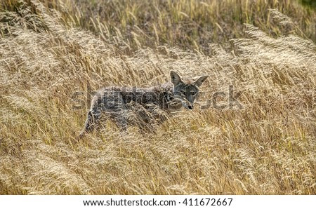 Lone Coyote with Shy Looks Hides in the Long Grasses of Yellowstone National Park - stock photo