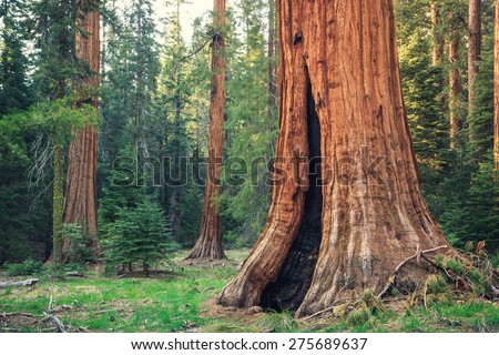 Lone Giant Sequoia in the Forest, Sequoia National Park, California  - stock photo