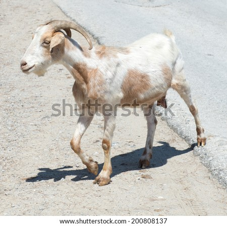 Lone Goat walking along a road - stock photo