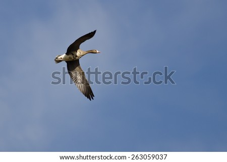 Lone Greater White-Fronted Goose Flying in a Blue Sky - stock photo