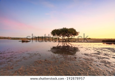 Lone mangrove tree at low tide - stock photo