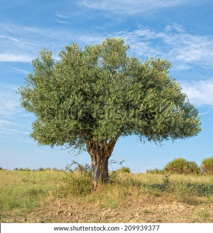 Lone Olive Tree growing on a hillside - stock photo