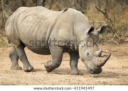 Lone rhino walking on a open area looking for safety from poachers - stock photo