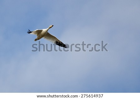 Lone Snow Goose Flying in a Cloudy Sky - stock photo
